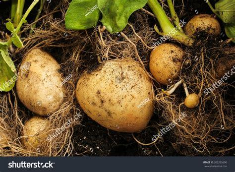 backyard potatoes potato harvest freshly dug potatoes backyard stock photo