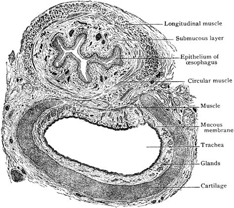 trachea transverse section transverse section of trachea and esophagus clipart etc