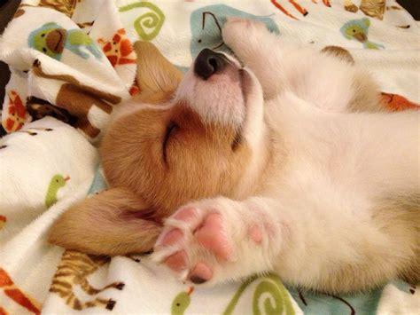 corgi puppy sleeping corgi puppy sleeping corgi style overig hondjes dieren en liefde