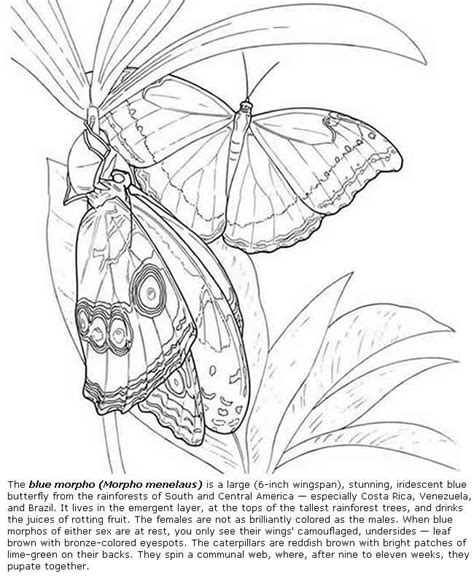 advanced butterfly coloring pages blue morpho butterfly coloring pages colouring adult