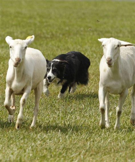 best farm dogs best farm breeds