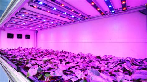 Indoorgardens led lights with uv produce plants with more trichome