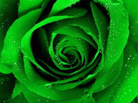 wallpaper of green rose rose wallpaper green rose hd wallpaper download free