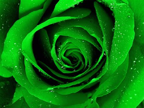 wallpaper green rose rose wallpaper green rose hd wallpaper download free