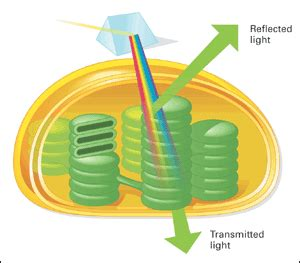what color are chloroplasts exploring text chapter 8 concept 8 2