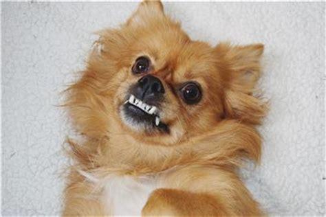 pekingese pomeranian mix peek a pom pekingese x pomeranian mix info temperament puppies pictures