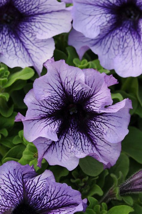 Wave And Flower 100 bulk pelleted petunia seeds sophistica blue morn