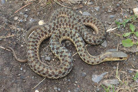 Garter Snake Va Common Gartersnake Thamnophis Sirtalis