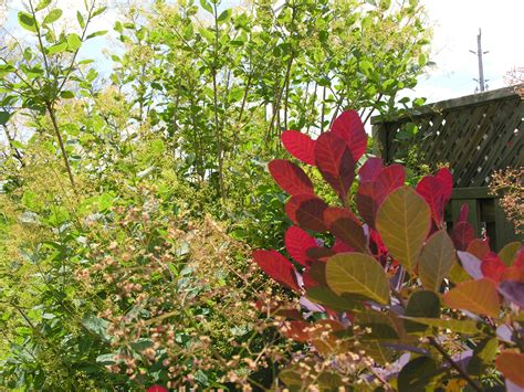 smoke tree or smoke bush cotinus obovatus cotinus coggygria