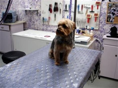 how often should i groom my yorkie grooming your terrier yorkie grooming doggroomers