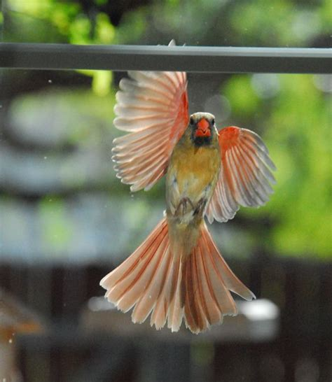 Loz Gift Large 9517 Bird Pink 17 best images about cardinals on northern cardinal birds and you don t say