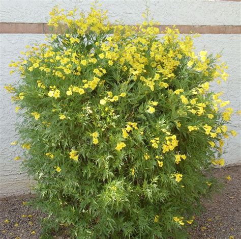 arizona yellow bells plant shrubs for sale at our