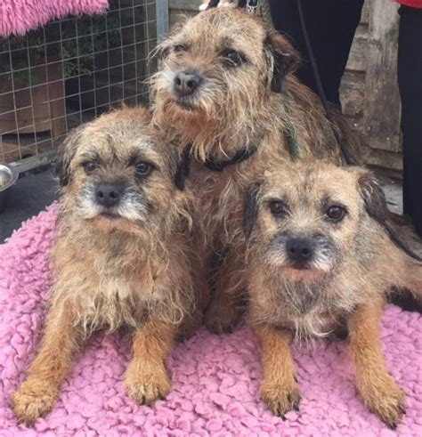 border terrier puppies for adoption border terriers gainsborough lincolnshire pets4homes