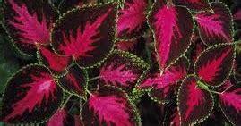 Miyana Atau Jawer Kotok cara menanam tanaman obat herbal dan jamu tradisional
