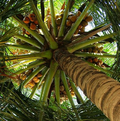 Uses Of The Coconut Palm by Coconut Perfume Ingredient Coconut Fragrance And