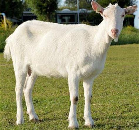 Tepung Tulang Ikan Untuk Pakan Ternak cara budidaya ternak kambing peternakan