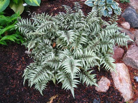 Types Of Garden Herbs - plants amp flowers 187 athyrium niponicum metallicum