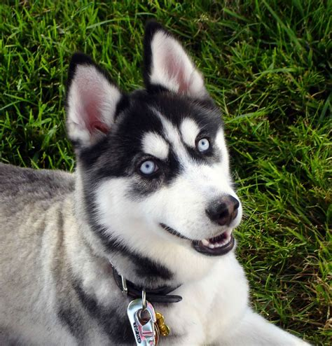 cute puppy dogs siberian husky puppies with blue eyes