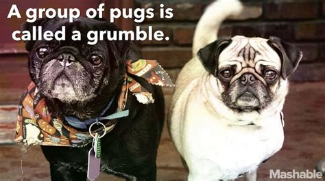 interesting facts about pugs 25 best ideas about facts about pugs on pug facts animals and puppy