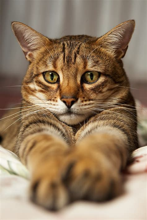 Temperament and Personality of Bengal Cats   Annie Many