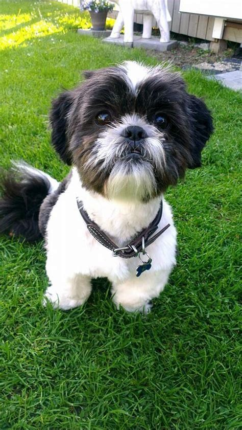 how much should a shih tzu puppy eat 2769 best images about i shihtzu dogs on