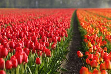 tulip field tulip fields free stock photo public domain pictures