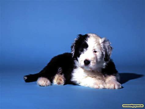 black and white dog wallpaper black and white dog wallpaper sangram10