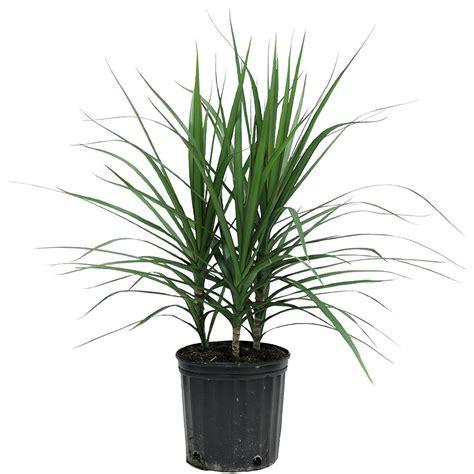 delray plants marginata bush in 8 3 4 in pot 10marg the