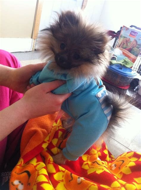 pomeranian pajamas 1685 best images about pomeranians pets on chihuahuas pom and