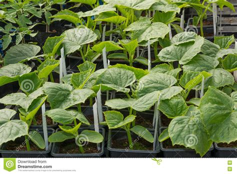 Garden Ready Vegetable Plants Small Cucumber Plants Grown In Pots Stock Photo Image