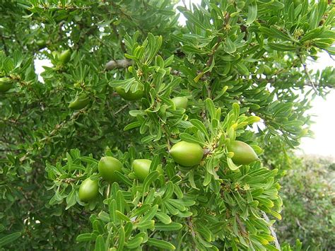 argan tree fruit moroccan argan is amazing but only if its and