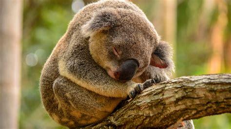 green koala wallpaper hd sleeping koala wallpaper download free 149514