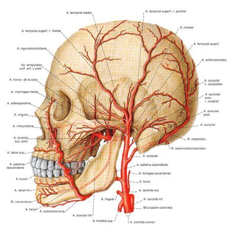 de la cabeza a venas y arterias de la cabeza images