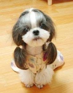 thicken shih tzu tails always wanted a pink dog but thought it was a bit like