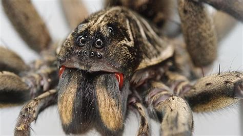 do spiders eat bed bugs do spiders eat bed bugs myth busted we don t swallow eight