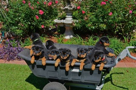 rottweiler rescue il rottweiler rescue il for dogs