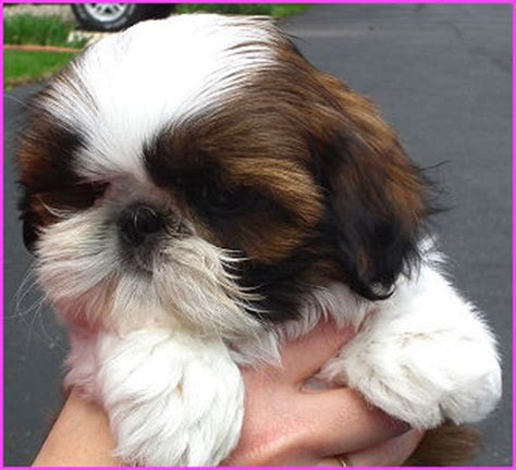 shih tzu st louis shih tzus dogs jin breeds picture