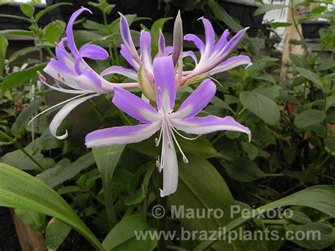 Easy Plants Griffinia Serra Da Prata