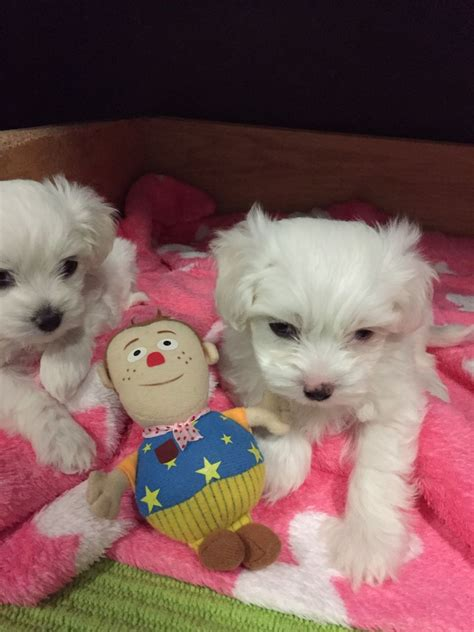 maltese puppies for sale los angeles maltese puppies for sale los angeles ca 256656