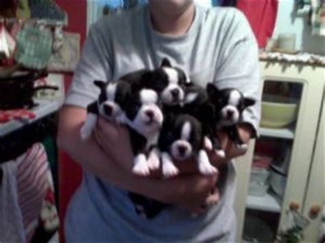 boston terrier puppies for sale in arkansas boston terrier puppies for sale