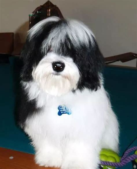 havanese puppies toronto 1000 ideas about havanese puppies on havanese puppies for sale coton de