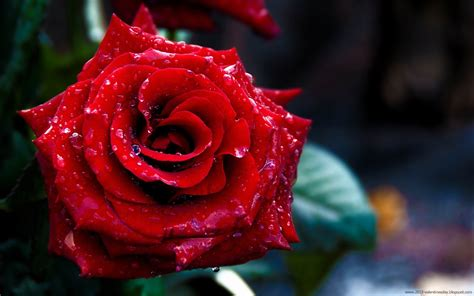 Rose Day 2016 HD Wallpapers and Red Rose Pictures