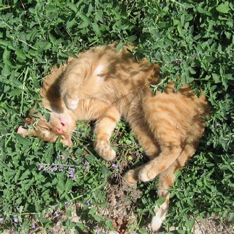 is catnip safe for dogs catnip plants for sale nepeta cataria the growers exchange