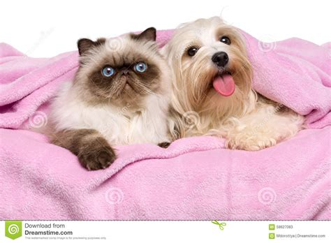 havanese and cats cat and a happy havanese lying on a bedspread stock photo image