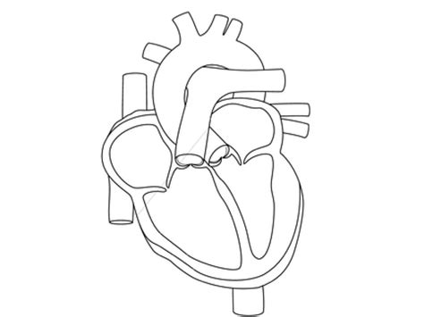 anatomy and physiology free coloring pages coloring home