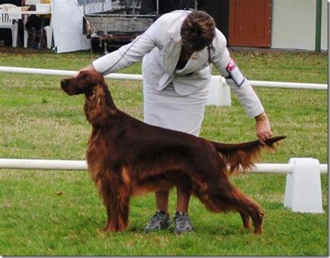 irish setter national dog show 2011 eukanuba national dog show new zealand irish