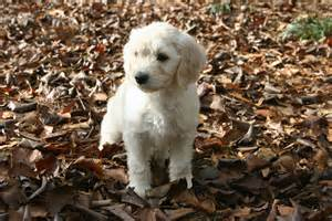 goldendoodle puppy how much to feed forever snuggly miniature goldendoodles
