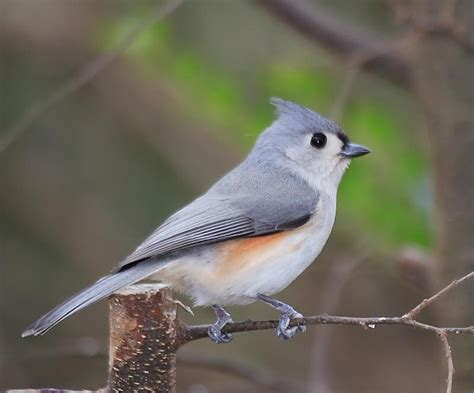 tufted titmouse wildlife pinterest