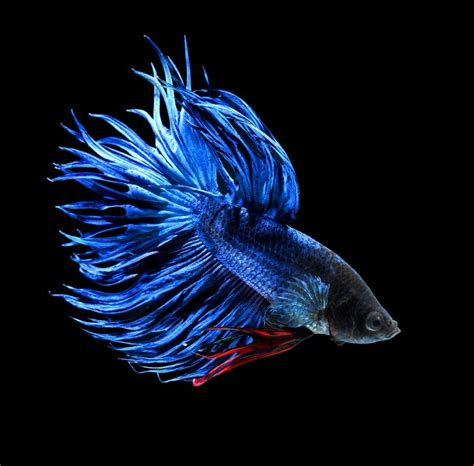 Ikan Cupang Crowntail Royal Blue blue crown betta betta splendens beautiful blue and crowns