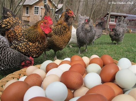 Best Backyard Chickens For Eggs How To Get An Endless Supply Of Farm Fresh Antibiotic Free Eggs By Raising Your Own Chickens